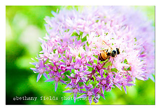 Sedum with bee